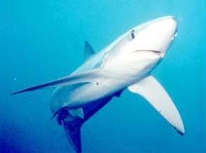Fauna Tubarão Ambientebrasil Ambientes